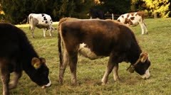 Bavarian cows Stock Footage