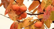 Stock Video Footage of Persimmons on the tree.