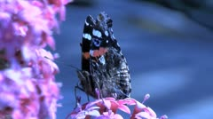Red Admiral Butterfly Using  Proboscis Stock Footage