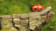 Stock Video Footage of Macro shot of a ladybird (ladybug, ladybird beetle, God's cow, ladyclock)