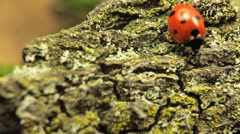 Macro Insects shot ladybird (ladybug, ladybird beetle, God's cow, ladyclock) - stock footage