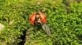 Macro shot of a ladybird (ladybug, ladybird beetle, God's cow, ladyclock) Footage