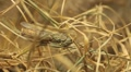 Macro Grasshopper Exploring the Beautiful Nature, Dry Grass Footage