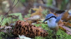 Little bird eats nuts in the forest slowly - stock footage