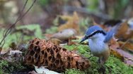 Stock Video Footage of Little bird eats nuts in the forest slowly