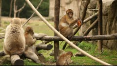 Barbary Macaque monkeys Stock Footage