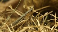 Stock Video Footage of Macro Insects Grasshopper Exploring the Beautiful Nature, Dry Grass
