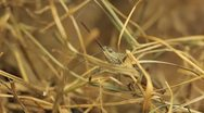 Stock Video Footage of Macro Grasshopper Exploring the Beautiful Nature, Dry Grass