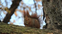 Squirrel sits on tree branch Stock Footage