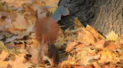 Squirrel searching for food among autumn leaves Stock Footage