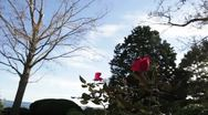 Stock Video Footage of rose bush blowing in wind
