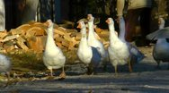 Flying geese Stock Footage