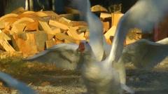 Flying geese slowmo Stock Footage