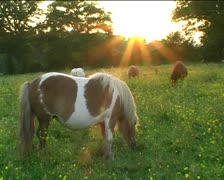 Grazing Shetland ponies in field at sunset2 Stock Footage