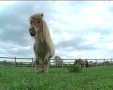 Nodding Shetland pony in field Stock Footage