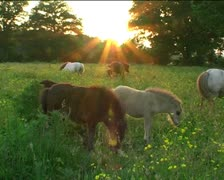 Shetland foals and ponies grazing at sunset Stock Footage