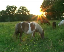Shetland ponies grazing in field at sunset3 Stock Footage