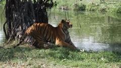 Tiger 02 - stock footage