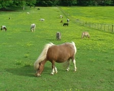 Many Shetland ponies grazing on green field Stock Footage