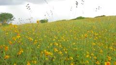 Prato fiori gialli zoom Stock Footage