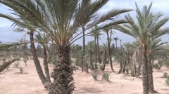Date Palms in the desert Stock Footage