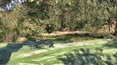 Picking olives from tree Stock Footage