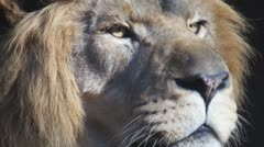 African Lion Male Stock Footage