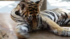 Tiger cub - stock footage