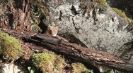 Stock Video Footage of Pine Marten