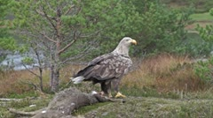 White Tailed Eagle takes flight from ground Stock Footage
