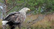 Stock Video Footage of White Tailed Eagle