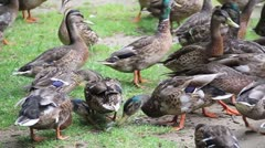 Ducks Eating close up + Sound Stock Footage