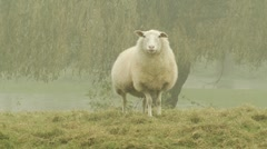 Sheep on foggy landscape Stock Footage
