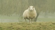 Sheep on foggy landscape Stock Footage