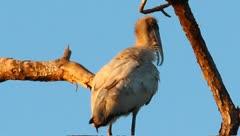 Wood stork (Mycteria americana) in a tree - stock footage