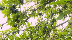 Ripe plums on the branches in the orchard Stock Footage