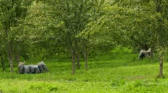 Plum orchard with bag full of plums Stock Footage