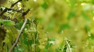Grapes removed from vine Stock Footage