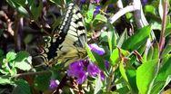 Israel Wildlife - Swallowtail Butterfly Stock Footage