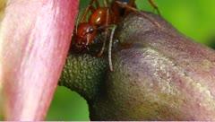Nectar feeding ants Stock Footage