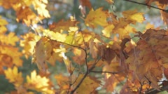 Stock Footage - Fall - Atumn Leaves - golden, brown with green backgorund Stock Footage