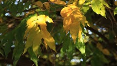 Autumn beautiful leaves swaying Stock Footage