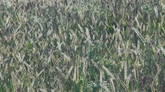 Beautiful field of sorghum - stock footage