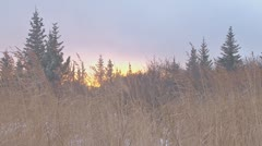 Windy Snow Meadow Forest Grasses at Sunset Stock Footage