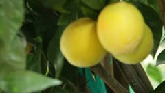 Stock Video Footage of Lemon tree in Sonoma, CA - 1080p HD