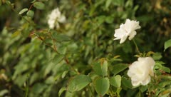 Sonoma - white flowers with rack focus - 1080p HD Stock Footage
