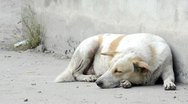 Stock Video Footage of Street Dog Resting
