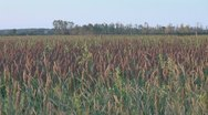 Beautiful field of sorghum Stock Footage