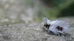 Bug Hairy 2 Stock Footage