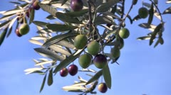 Olive fruits close up on tree Stock Footage